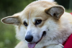 Portrait of Welsh Corgi Pembroke Royalty Free Stock Photos