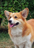 Portrait  of Welsh Corgi Pembroke Stock Photo