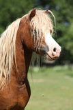 Portrait of welsh mountain pony stallion on pasturage. Beautiful chestnut welsh mountain pony stallion with blond hair standing on pasturage Stock Photography