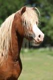 Portrait of welsh mountain pony stallion on pasturage