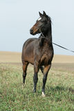Portrait of welsh part-bred mare with halter Stock Image