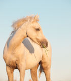 Portrait of welsh  pony filly at sky background. close up Royalty Free Stock Images