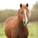 Portrait of welsh pony Royalty Free Stock Photo