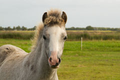 Portrait of a Welsh pony foal. In the field Stock Photo