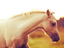 Portrait of welsh  pony  foal. art toned Stock Photos
