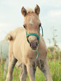 Portrait of welsh  pony  foal Royalty Free Stock Photo