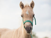 Portrait of welsh  pony  foal. cloudy evening Royalty Free Stock Photos