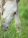 Portrait of welsh  pony  foal at pasture. close up Royalty Free Stock Photography
