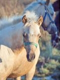 Portrait of  welsh  pony  foal .sunny  evening Royalty Free Stock Photography