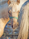 Portrait of welsh  pony  foal .sunny  evening Stock Photo