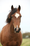 Portrait of welsh pony looking at you Stock Photo