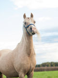 Portrait of welsh pony in meadow Royalty Free Stock Images