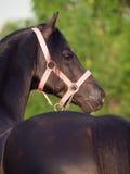Portrait of welsh pony stallion Stock Images