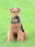 Portrait of Welsh Terrier. In the garden Stock Photography