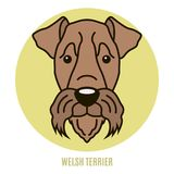 Portrait of Welsh Terrier Royalty Free Stock Image