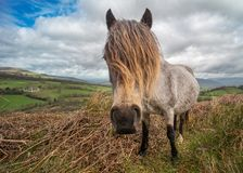 Welsh pony hair. Portrait of Welsh wild pony in the Brecon Beacons National park. Mane in attractive hairstyle. Wales, UK, April Royalty Free Stock Photography