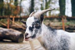 West African Dwarf goat. Portrait of a West African Dwarf goat Capra aegagrus hircus Stock Photo