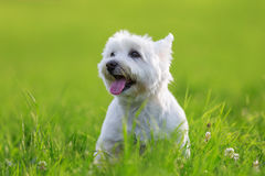 Portrait of a West Highland Terrier. Portrait picture of a West Highland Terrier on the meadow royalty free stock images
