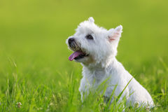 Portrait of a West Highland Terrier. Portrait picture of a West Highland Terrier on the meadow stock photography