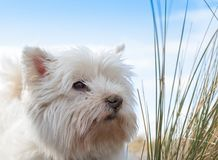 Portrait of a west highland terrier stock photography