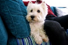 Portrait of West Highland White Terrier dog in addition to his owner on bed, couch and sofa is posing for photo shoot, close up. stock photography