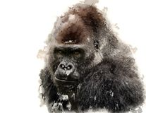 Portrait of a West lowland Gorilla Stock Images