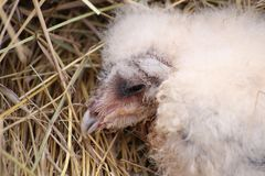 Portrait of a western barn owl fledgling (Tyto alba).  Stock Photos