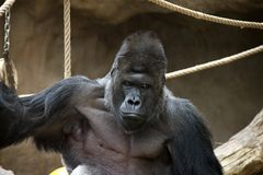 Portrait of Western Gorilla male. Photo was taken in the zoo Royalty Free Stock Photos