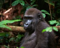 Portrait of Western Lowland Gorilla. In a native habitat. Congo Royalty Free Stock Photos