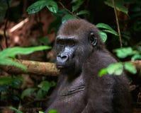 Portrait of Western Lowland Gorilla Royalty Free Stock Photos