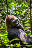 Portrait of a western lowland gorilla. (Gorilla gorilla gorilla) close up at a short distance. Silverback - adult male of a gorilla in a native habitat. Jungle Stock Photography