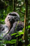Portrait of a western lowland gorilla Royalty Free Stock Images