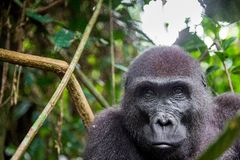 Portrait of a western lowland gorilla (Gorilla gorilla gorilla) close up at a short distance. adult female of a gorilla in a nativ Royalty Free Stock Images