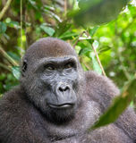 Portrait of a western lowland gorilla (Gorilla gorilla gorilla) close up at a short distance. Adult female of a gorilla in a natural habitat. Jungle of the royalty free stock photos