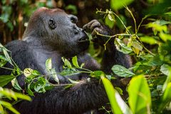 Portrait of a western lowland gorilla (Gorilla gorilla gorilla) close up at a short distance. Silverback - adult male of Stock Images