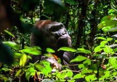 Portrait of a western lowland gorilla (Gorilla gorilla gorilla) Stock Photos