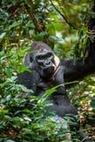 Portrait of a western lowland gorilla (Gorilla gorilla gorilla) Royalty Free Stock Photo