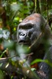 Portrait of a western lowland gorilla (Gorilla gorilla gorilla) close up at a short distance. Stock Photos