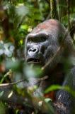 Portrait of a western lowland gorilla (Gorilla gorilla gorilla) close up at a short distance. Stock Photos