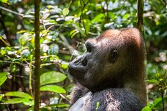 Portrait of a western lowland gorilla (Gorilla gorilla gorilla) close up at a short distance. Silverback - adult male of a gorilla. In a native habitat. Jungle Stock Photo