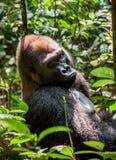 Portrait of a western lowland gorilla (Gorilla gorilla gorilla) close up at a short distance. Silverback - adult male of a gorilla. In a native habitat. Jungle Stock Photo
