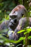 Portrait of a western lowland gorilla (Gorilla gorilla gorilla) close up at a short distance. Silverback - adult male of a gorilla Stock Photos
