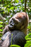 Portrait of a western lowland gorilla (Gorilla gorilla gorilla) close up at a short distance. Silverback - adult male of a gorilla. In a native habitat. Jungle Stock Image
