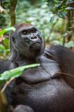 Portrait of a western lowland gorilla (Gorilla gorilla gorilla) close up at a short distance. Silverback - adult male of a gorilla. In a native habitat. Jungle Stock Photography