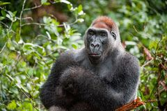 Portrait of a western lowland gorilla (Gorilla gorilla gorilla) close up at a short distance. Silverback - adult male of a gorilla Royalty Free Stock Image