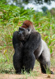 Portrait of a western lowland gorilla (Gorilla gorilla gorilla) close up at a short distance. Stock Photo