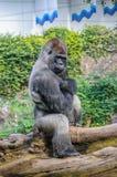 Portrait of a western lowland gorilla in Loro Parque, Tenerife, Royalty Free Stock Photos