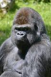 Portrait western lowland gorilla. Portrait male western lowland gorilla (Gorilla gorilla Royalty Free Stock Photos