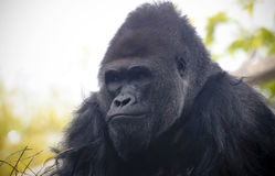 A Portrait of a Western Lowland Silverback Gorilla Stock Images