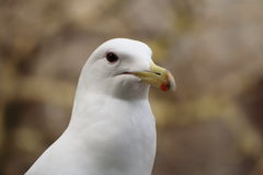 Portrait of a Western seagull Stock Photos